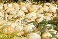 Harvest pumpkin on the ground Stock Photos