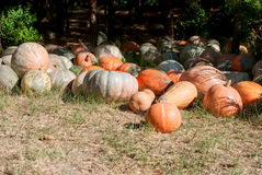 Harvest pumpkin on the ground Royalty Free Stock Image