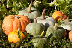 The harvest of pumpkin Royalty Free Stock Photo