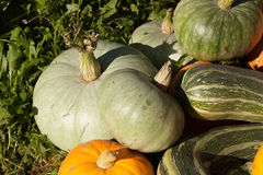 Harvest of pumpkin and vegetable marrows Royalty Free Stock Image