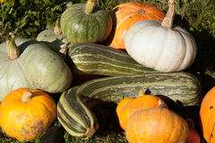 Harvest of pumpkin and vegetable marrows Royalty Free Stock Photos