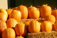 Harvest Pumpkins. Pumpkins displayed outdoors royalty free stock images