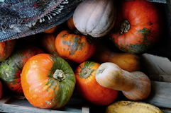 Harvest of pumpkins Royalty Free Stock Image