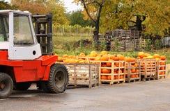 Harvest pumpkins Stock Image