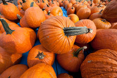 The Harvest of Pumpkins Stock Image