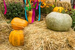 Harvest of pumpkins, squash, gourds and chrysanthemums arranged Royalty Free Stock Photos