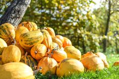 Harvest of pumpkins in the yard, life in the village, Western Ukraine Stock Images