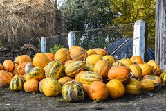 Harvest of pumpkins in the yard, life in the village, Western Ukraine Royalty Free Stock Photos