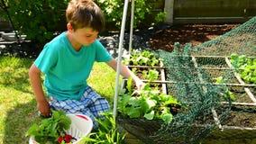 Harvest radish stock video footage