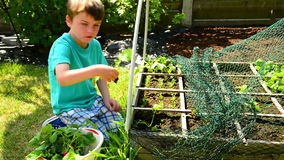 Harvest radish. Boy harvesting radish, shaowing his harvest stock video footage