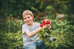 Harvest of radishes Stock Image
