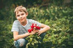 Harvest of radishes Royalty Free Stock Images