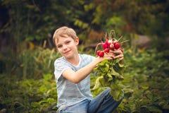 Harvest of radishes Royalty Free Stock Photo