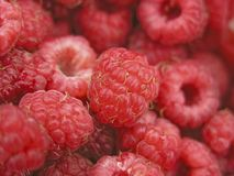 Harvest of raspberry. Red and sweet berries of raspberry Stock Image