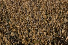 Harvest ready field of soybeans stock photography
