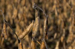 Harvest ready field of soybeans stock image