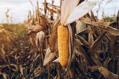 Harvest ready ripe corn maize cob in field stock image