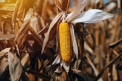 Harvest ready ripe corn maize cob in field Stock Photography