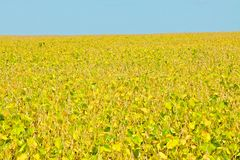 Harvest-Ready Soybeans Royalty Free Stock Image