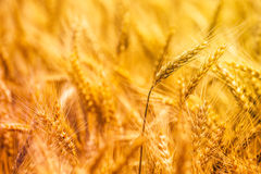 Harvest ready triticale ears, hybrid of wheat and rye stock photos