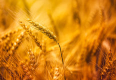 Harvest ready triticale in field Royalty Free Stock Photo
