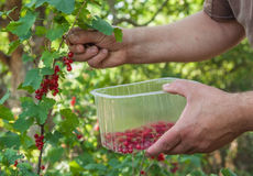 Harvest of red currants Royalty Free Stock Photos