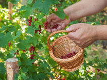 Harvest of red currants Stock Images