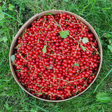 The harvest of red currants in a sieve. Which is located on the green grass Stock Image