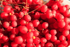 Harvest of red schisandra Royalty Free Stock Photo