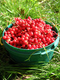 Harvest of red schizandra Stock Photos