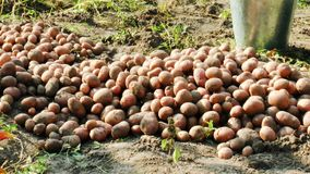 Harvest red skin potatoes. From the soil stock video