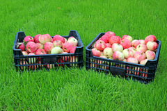 Harvest red and yellow apples in two plastic boxes. On a green lawn stock photo