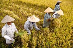 Harvest Rice. A group of women were harvesting paddy during the harvest in a village in Aceh Royalty Free Stock Photo