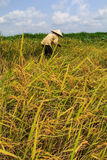 Harvest rice Stock Photos