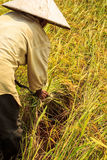 Harvest rice Stock Photography