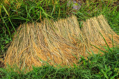 Harvest rice Royalty Free Stock Photography