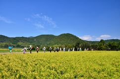 Harvest of rice farm and scarecrows, Japan. Seasonal landscape of rice farm and lineup scarecrows in Kyoto Japan Royalty Free Stock Image