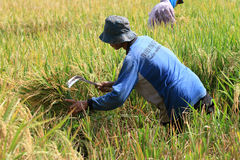 Harvest rice. Farmers harvest rice in paddy fields in Boyolali, Central Java, Indonesia Royalty Free Stock Images