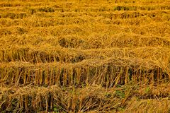 Harvest rice farms. Royalty Free Stock Images