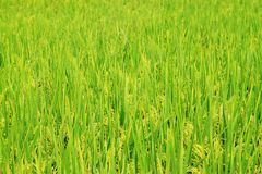Harvest Rice field Royalty Free Stock Photo