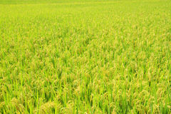 Harvest Rice field Royalty Free Stock Image