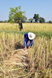 Harvest rice in rural,  Stock Photos