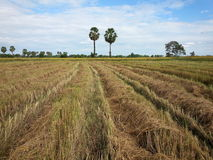 Harvest. The rice in thailand Royalty Free Stock Photography