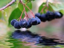 Harvest Ripe Black Chokeberry Stock Image