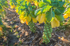 Harvest ripe Brussels sprouts from close Royalty Free Stock Image