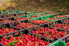 Harvest of ripe cherry in boxes. Harvest of cherry in boxes Stock Photo