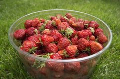 Harvest ripe, delicious strawberries, in a Cup Royalty Free Stock Image