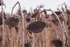 Harvest ripe, dry sunflower on the field. Royalty Free Stock Image