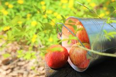 Harvest of ripe juicy red apples in a bucket on a stump on a nat Royalty Free Stock Photos