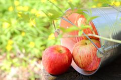 Harvest of ripe juicy red apples in a bucket on a stump on a nat royalty free stock photography